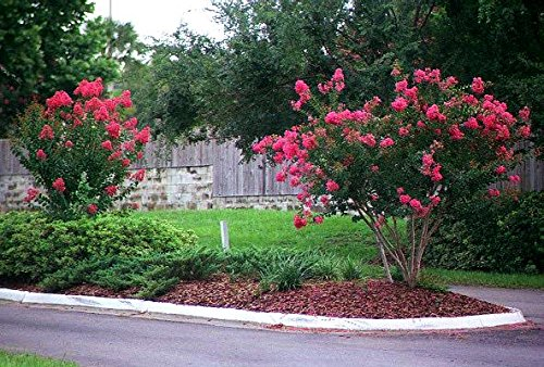 Tonto Dwarf Crape Myrtle, 1 Plant, Striking Dark Watermelon Red, Matures 8'-10' (2-4ft Tall When Shipped, Well Rooted in Pots with Soil)