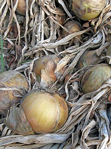 Allium cepa 100 Samen Zipolle Küchenzwiebel Gemüsezwiebel /'Globo/'