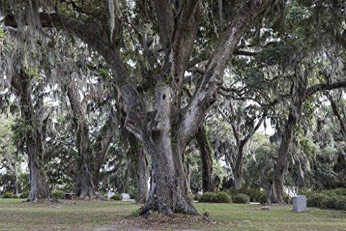 - Photograph| Spanish moss-draped trees in Bonaventure Cemetery in Savannah, Georgia 2 Fine Art Photo Reproduction 44in x 30in
