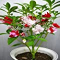 30 colorful impatiens seed mixing henna flower seeds garden balcony potted indoor plants flowers Seasons