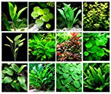 40 Live Aquarium Plants / 12 Different Kinds - 3 Amazon Swords (2 kinds), 3 Anubias (2 Kinds), Egeria, Cryptocoryne (2 kinds) and much more! Great plant sampler for 25-40 gal tanks!