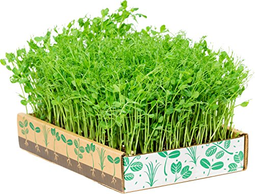 The Simply Good Box By Home Greens - The Simplest Way to Grow Amazing Microgreens (Best Way To Grow Sprouts)