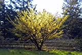 American Witchhazel - Hamamelis virginiana L. - Hardy Established Roots - 1 Trade Gallon Potted - 1 Plant by Growers Solution