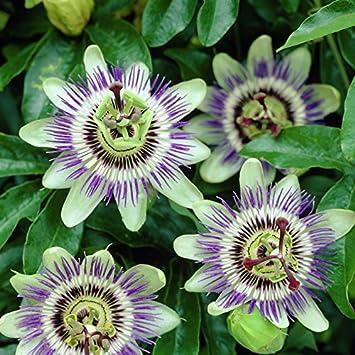 Winterharte Kletterpflanzen passionsblume passiflora caerulea kletterpflanze winterhart