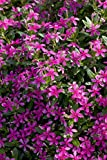 Costa Farms - Live Catharanthus - Annual Vinca, Soiree Kawaii Outdoor  Plant in 1.00 qt Grower Pot, Pink, 4 pack