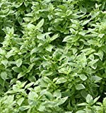 Basil, Perpetuo Live Plant USDA Certified Organic 2 ½ in. Pot