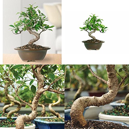 Brussel's Golden Gate Ficus Bonsai Tree Plant Indoor Tropical Beauty Gift New by gk_usa_mall
