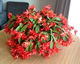 Candy Red Easter Cactus Cutting, Christmas Rhipsalidopsis, Schlumbergera Plant