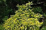 1 Starter Plant of Aucuba Japonica 'Variegata' - Variegated Japanese Aucuba
