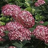 """Invincibelle ® Ruby Hydrangea - 4"""" pot - Proven Winners"""