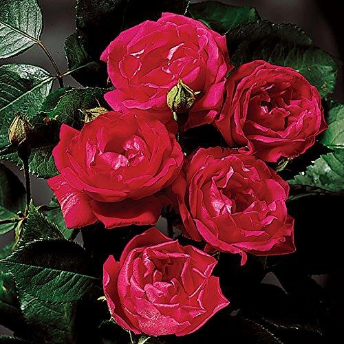 10 Yellow Roses (Improved Blaze Climbing Rose Plant - Red Fragrant Rose Bush - Potted Grown Organic Stargazer Perennials)