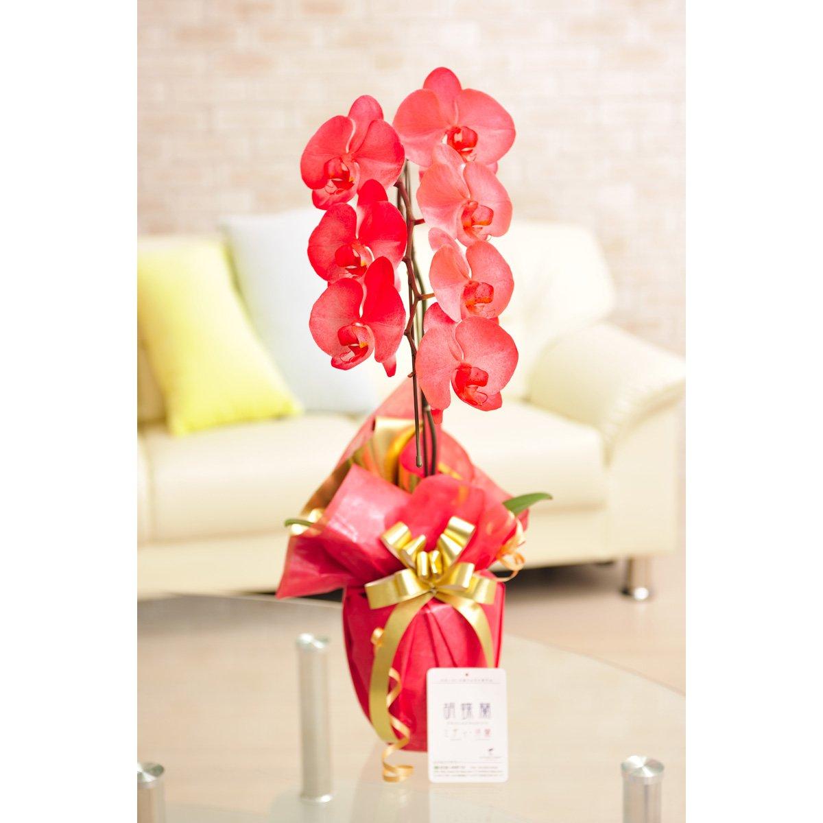花とギフトのセット 選べる花色のカラー胡蝶蘭 彩 - irodori - 1本立 赤(暖色系)とカタログギフト(ミストラル/マロウ) B07DNVSK3T 赤 赤