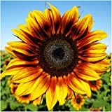 buy Package of 85 Seeds, Firecracker Sunflower (Helianthus annuus) Non-GMO Seeds By Seed Needs now, new 2018-2017 bestseller, review and Photo, best price $3.65