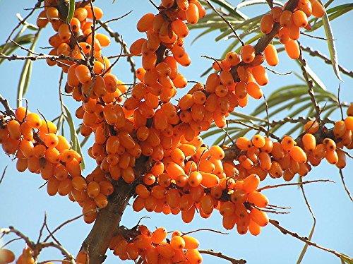 Sea Buckthorn, Hippophae Rhamnoides, 50 Seeds, Hardy, Edible Fruit (Sea Fruit)