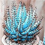 Hot Sale 20 Pcs Cactus Aloe Seeds Mixed Excellent Houseplants Succulent Aloe Vera Seed Use Beauty Edible Cosmetic Herb Bonsai 1