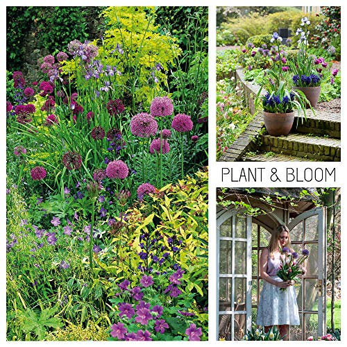 Plant & Bloom Allium Flower Bulbs from Holland, 45 Bulbs - Cottage Garden Allium Garden Bags - Easy to Grow - for Fall Planting, Spring Flowering - Pink and Purple Blooms - Top Dutch Quality (Perennials That Bloom From Spring To Fall)