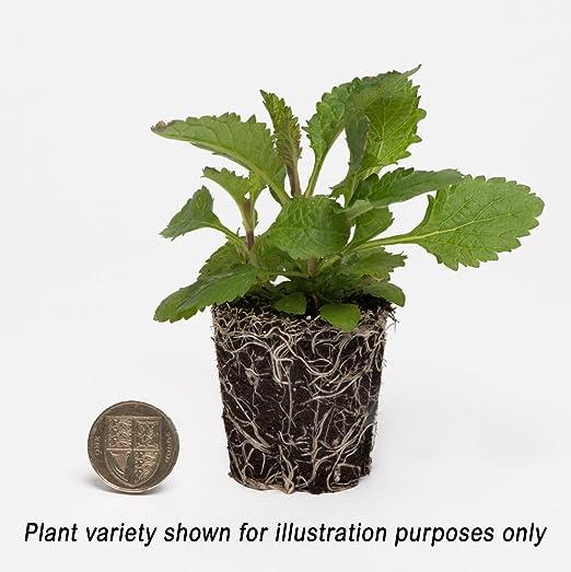 Plant Me Now Achillea Cassis Pack Of 5 Plants Premium Plug