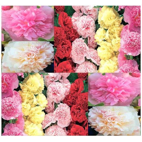 SUMMER CARNIVAL MIX Seed - HOLLYHOCK Flower Seeds ~ Fast Growing VERY DOUBLE BLOOMS - Pink, Red, Yellow & Apricot - AAS Winner - Zones 3 - 8 (0015 Seeds - 15 Seeds - Pkt. Size)