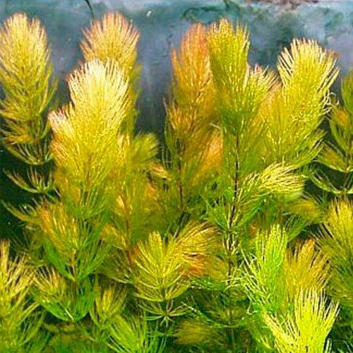 Hornblatt Ceratophyllum Demersum hornkraut eau plante schwimmpflanze