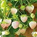 Strawberry Seeds 30 Sweet Organic Beauty White Strawberry Fruit Climbing Seeds for Planting Strtisfied Berry Plant Seeds