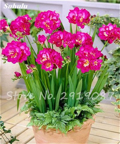 20 Pcs Freesias Seeds Colorful Fragrant Flower Plant Gorgeous Seeds Charming Flower Plant Seeds Plant For Garden 8