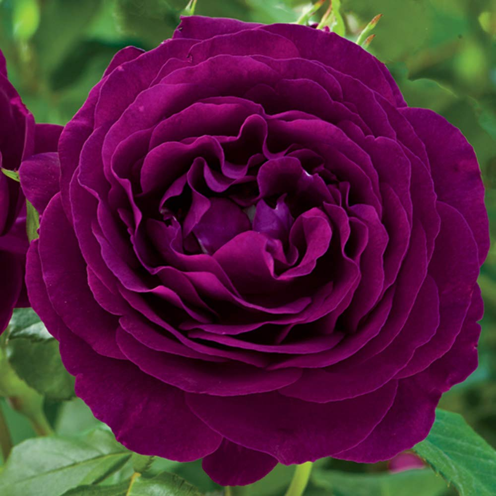 Own-Root One Gallon Twilight Zone Grandiflora Rose by Heirloom Roses