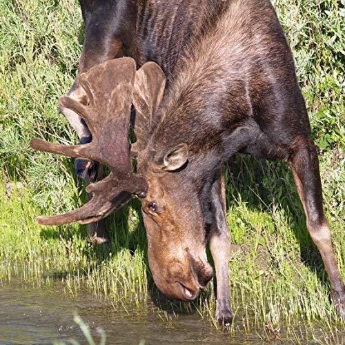 Moose photograph - Animal Photography, Brown & Green Wall Art - Western Decor -''Chocolate Moose'' - Grand Tetons Wildlife Print