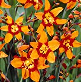 (2) Crocosmia Emily McKenzie Flowering Bulbs, Plant, Start, Root