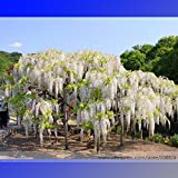 2018 Hot Sale 100% True Variety White Wisteria Flower Woody Plant Seeds, Professional Pack, 100 Seeds/Pack, Light Fragrant Flower #NF782