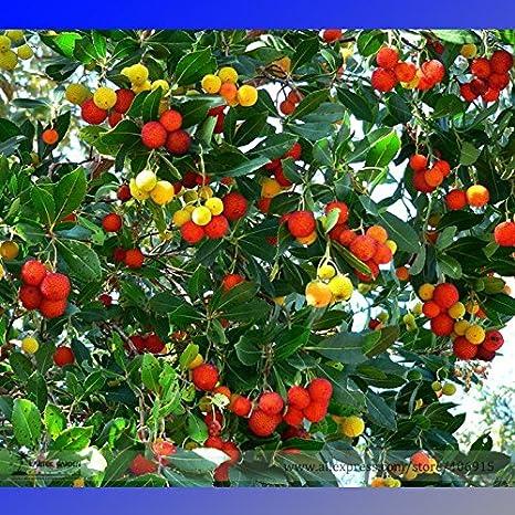 Pinkdose2018 Hot Sale Madrone Killarney Waxberry Tree Arbutus Unedo Semillas, Paquete Profesional, 5 Semillas/Paquete, Sweet Fruit Bonsai E3341