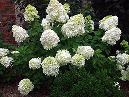 Limelight Hydrangea - Live Plants Shipped 1-2 Feet Tall by DAS Farms (No California)