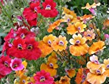 200 Seeds Nemesia Carnival Mix Strumosa Garden Flower Mixed Colors