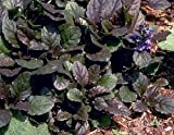 "Bronze Beauty Ajuga 48 Plants - Carpet Bugle - Very Hardy -1 3/4"" Pots"