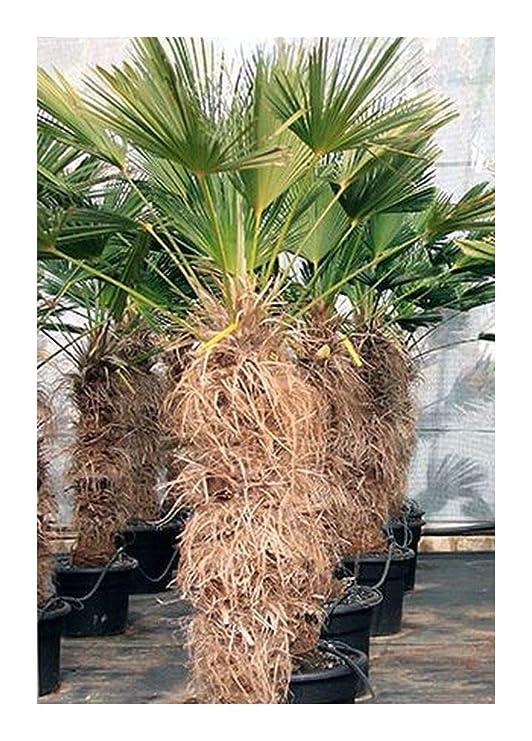 Shop Meeko Trachycarpus ianus - Miniatura Chusan Palma - El ...
