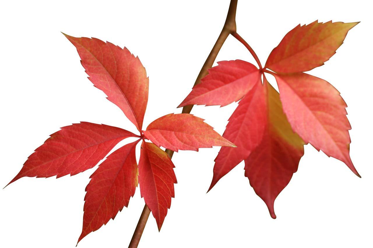 Selbstkletternde Jungfernrebe -Parthenocissus quinquefolia- 15 Samen *Wilder Wein* Samenchilishop