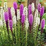 500 Blazing Star Seeds,Gayfeather Mix (Liatris Spicata,Perennial Flower