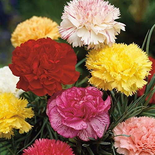 Kings Seeds – Carnation, Giant Chabaud Mixed – 120 Seeds