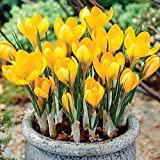 Autumn Crocus-- Spring Blooming Yellow Mammoth! 15 Fresh Bulbs, Plant in the Fall!!