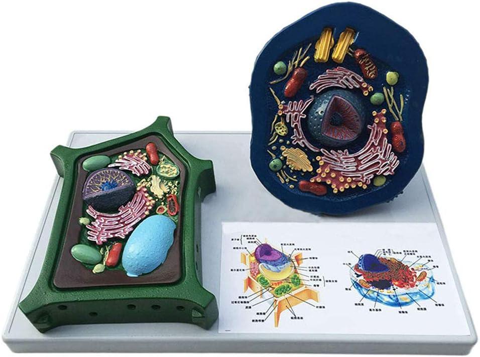 Huili Modelo de células Animales y Vegetales - Modelo de enseñanza anatómica médica - Modelos comparativos de enseñanza Experimental biológica - para Estudio Modelo de enseñanza de enseñanza médica
