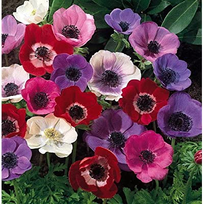 Anemone Windflowers -50 Bulbs 7/8 cm - Very Hardy! : Grocery & Gourmet Food