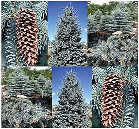 Amazon Com 4 Packs X 20 Colorado Blue Spruce Picea Pungens Glauca Tree Seeds Excellent Bonsai Specimen By Myseeds Co Toys Games