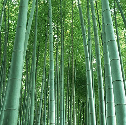 GIANT BAMBOO seeds - ca.60 Seeds/bag - Grows 8 to 10 meters in record speed - well suited as visibility or wind protection in the (Hardy Bamboo)
