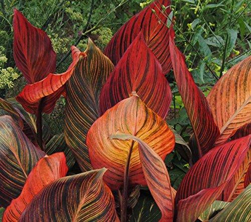 Tropicanna Red Flowering Dwarf Canna Lilies Roots/bulbs/rhizomes/plants Nice Size