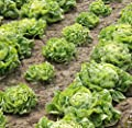 500 Iceberg Lettuce Seeds Lactuca Sativa by RDR Seeds