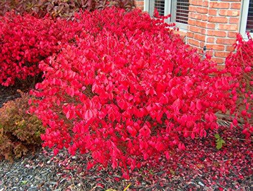 - Burning Bush Euonymus, 1 GAL