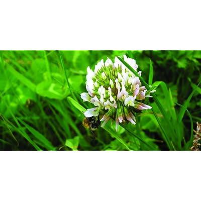 White Dutch Clover Grass Seed (1000 sq ft): Garden & Outdoor