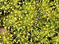 Seedville Anethum Graveolens Bouquet Dill Herb, 2500 Seeds