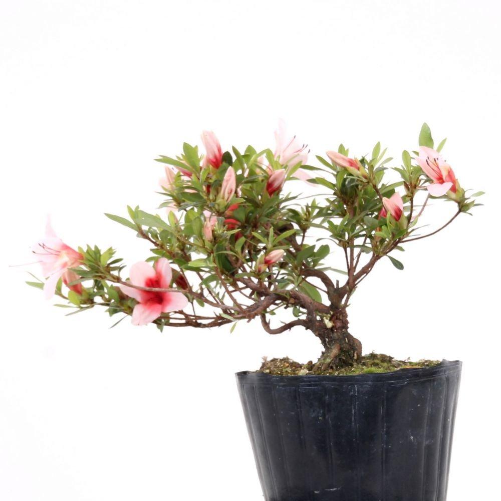 Bonsai - Jap. Satsuki Azalee 'Hi-no-Maru', Rhododendron indicum 183/56