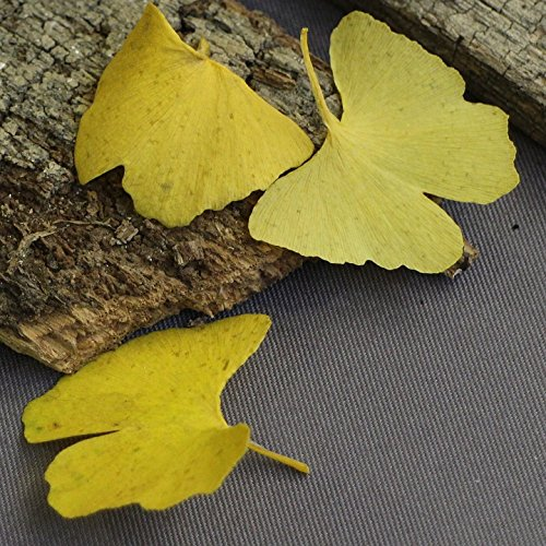 Ginko Leaf Wall - Home Comforts Framed Art for Your Wall Leaves Ginko Golden Autumn Nature Yellow 10x13 Frame