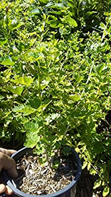 Black Velvet Gooseberry Plant - shipped bare root
